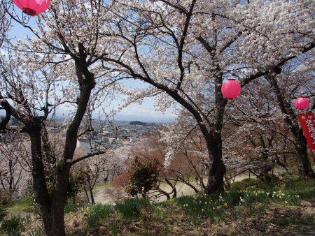 烏帽子山公園に桜を見に行ってきました。