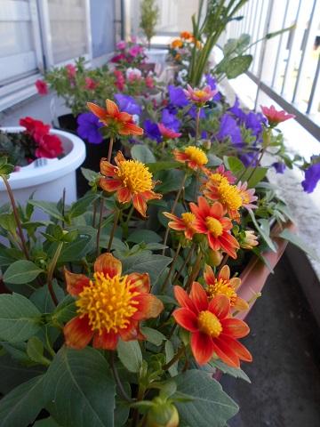 かがやきの丘 リハビリテーション科 「5月に植えた花が咲きました!」